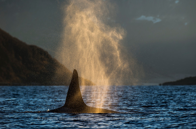 Killer Whale Blow, Kvaløya, Norway