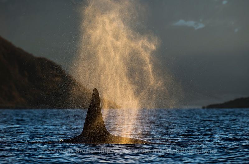 Killer Whale Blow, Kvaløya, Norway