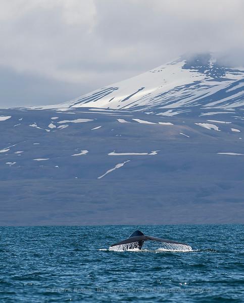Blue Whale Fluke, Norway