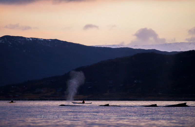 Evening Trip with Humpback Whales, Norway