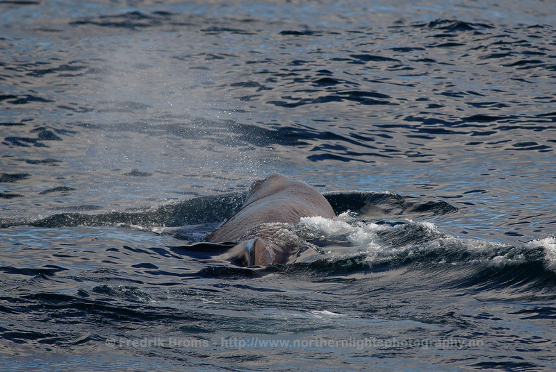 Sperm Whale off the coast of Senja, Norway