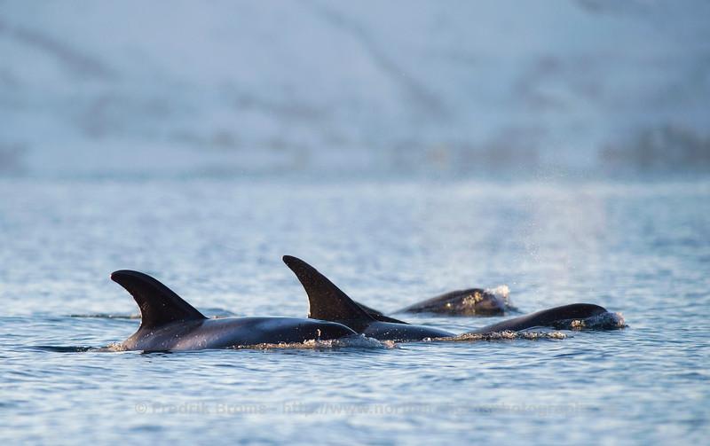 White beaked dolphins, Grøtsundet, Norway