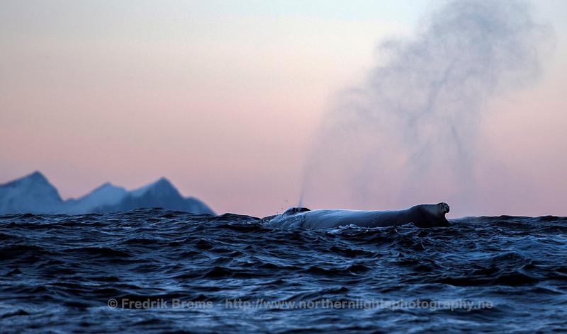 Humpback in front of Senja, Norway