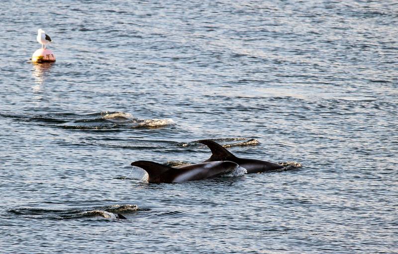White beaked dolphins, Vågnes, Norway
