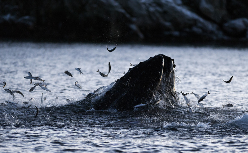 Lunge-Feeding Humpback, Sommarøy, Norway