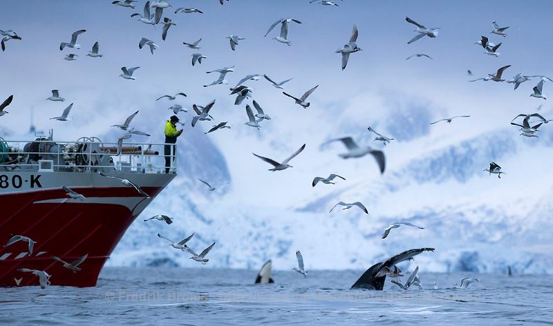 Catching herring, Håjafjorden, Norway