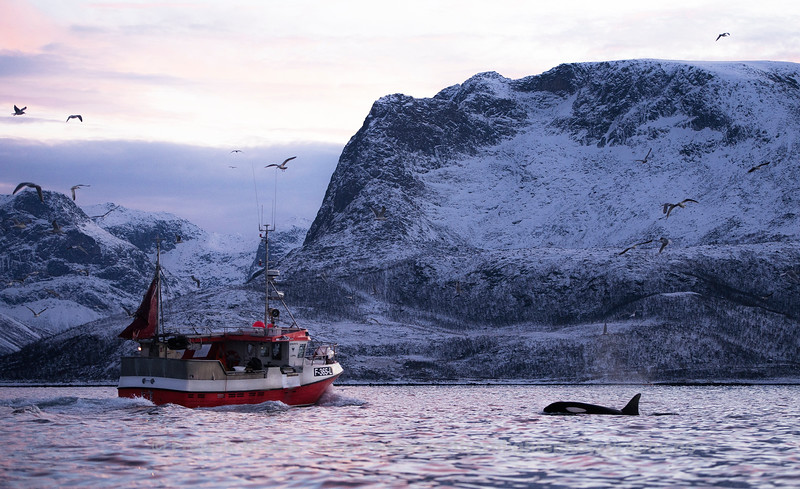 Fishing Boat and Orca outside Kvaløya, Norway