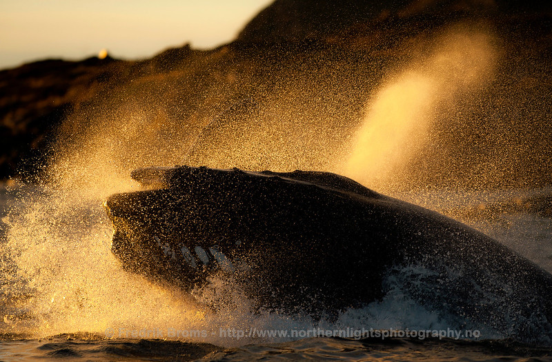 Energetic humpback in the evening light, Norway
