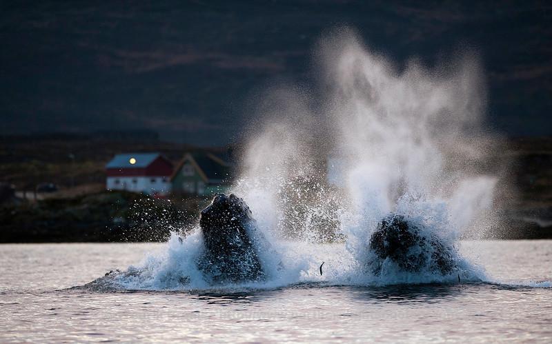 Humpbacks Feasting on Herring, Kvalsundet, Norway