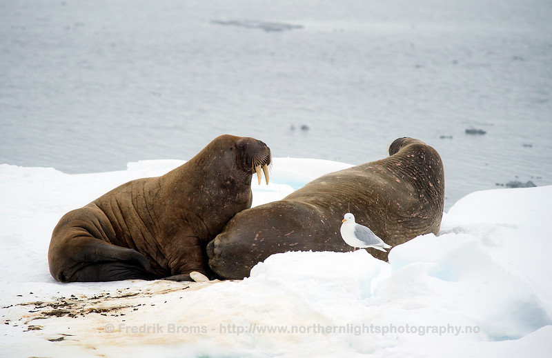 Walrus - Hvalross - Odobenus rosmarus
