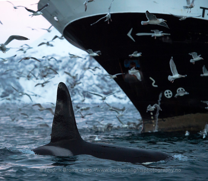 Killer Whale and Herring Fishing Boat, Norway