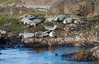 Harbour seal colony, Norway