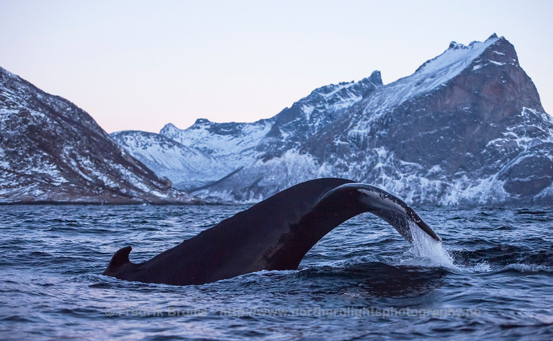 Humpback Whale outside Skamtinden, Norway