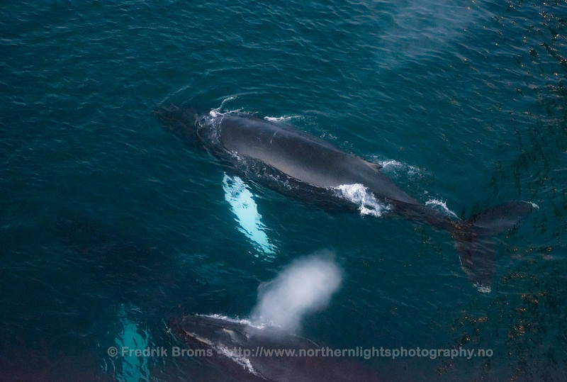 Humpbacks seen from Above, Northern Norway