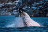 Lunge-Feeding Humpback Whale, Sommarøy, Norway