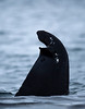 Dorsal fin of a killer whale, Norway