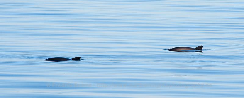 Logging Harbour Porpoises, Norway