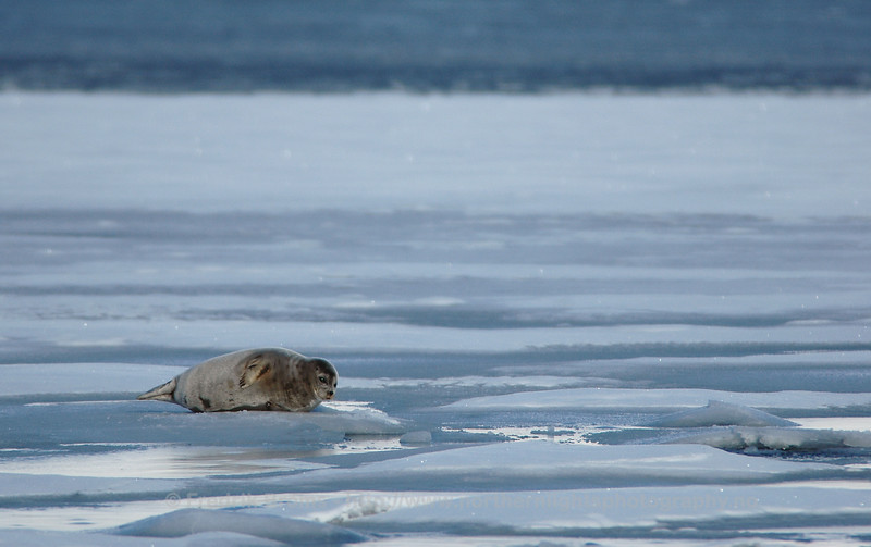 Ringed Seal on Ice, Norway