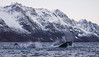 Group of humpbacks whales feeding in Ersfjorden, Norway