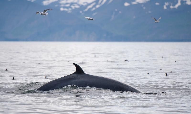 Minke Whale, Iceland