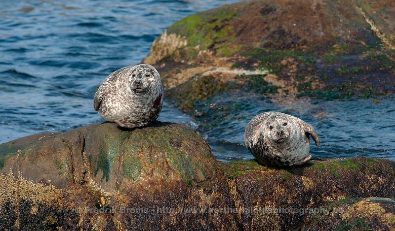 Harbour seals, Norway