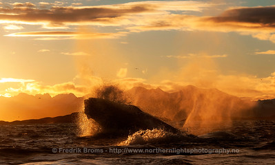 Lunge-feeding Humpback in the Sunset, Norway
