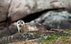 Harbour Seal, Norway
