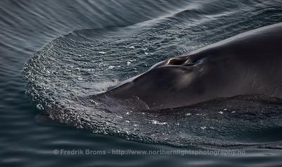 Minke Whale - Vågehval - Balaenoptera acutorostrata