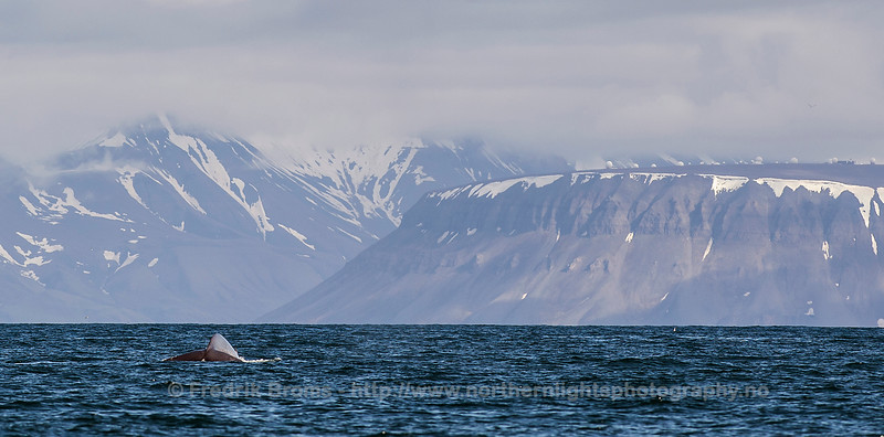 Blue Whale in front of Svalsat, Isfjorden, Svalbard