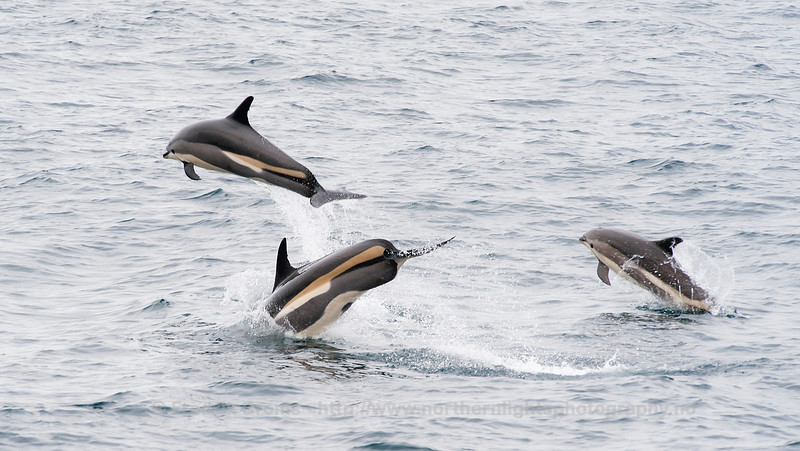 Atlantic White-Sided Dolphins, Norway