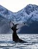 Tail-slap, Norway
