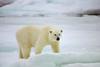 Polar Bear, Arctic Ocean, Norway