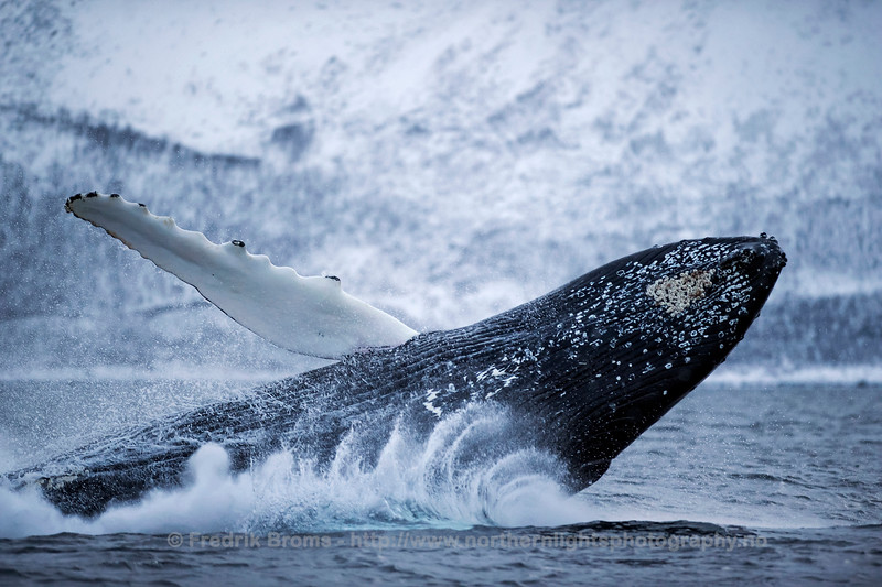 Breaching Humpback Whale, Norway