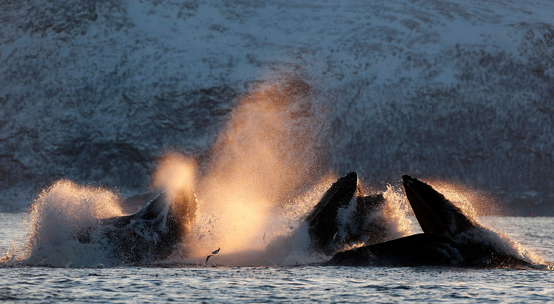 Humpback Feeding Frenzy, Norway