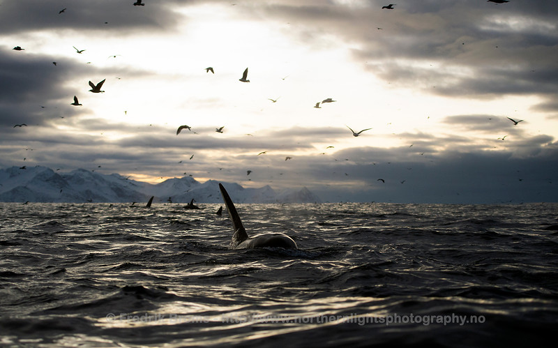 Killer Whale Feeding Frenzy, Northern Norway