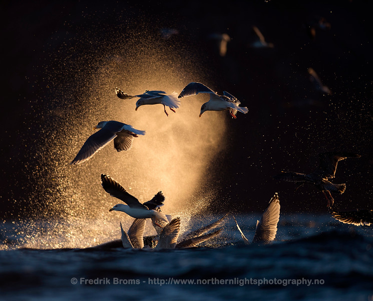 Gulls in Killer Whale Blow