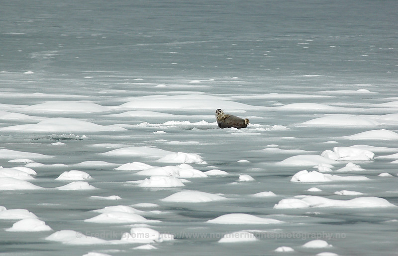 Ringed seal on sea-ice haul-out, Norway