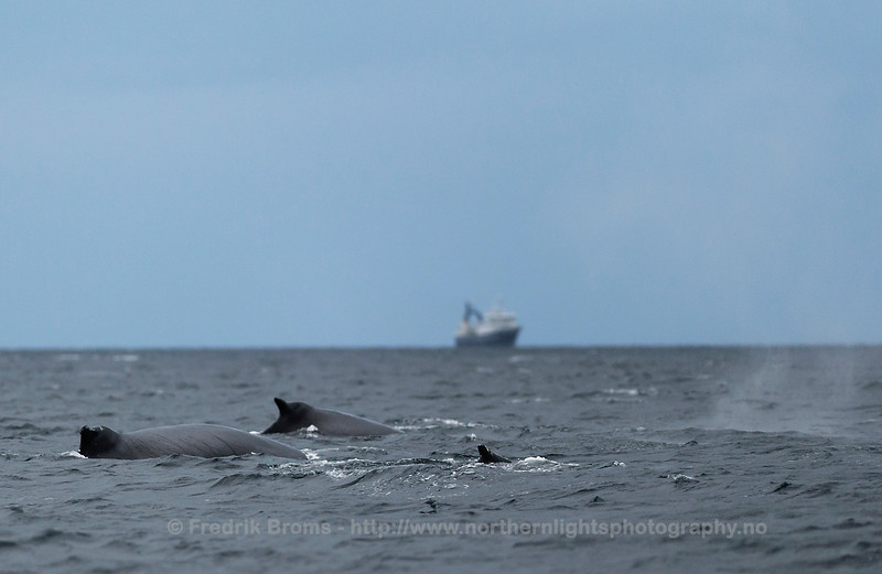 Humpback Whales in front of R/V Helmer Hanssen