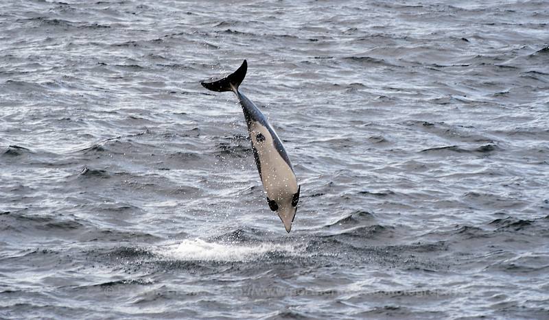Atlantic White-Sided Dolphin, Norway