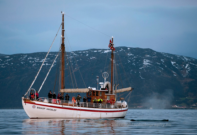 Whale Watching, Kvalsundet, Norway