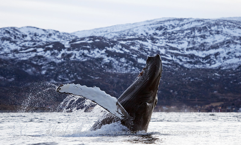 Breaching Humpback Whale, Kvaløya, Norway