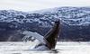 Breaching Humpback Whale, Kvaløya, Norway