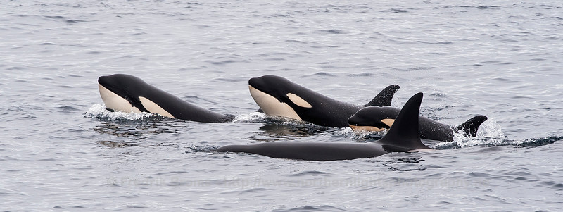 Killer Whale Family in Bleik Canyon, Norway