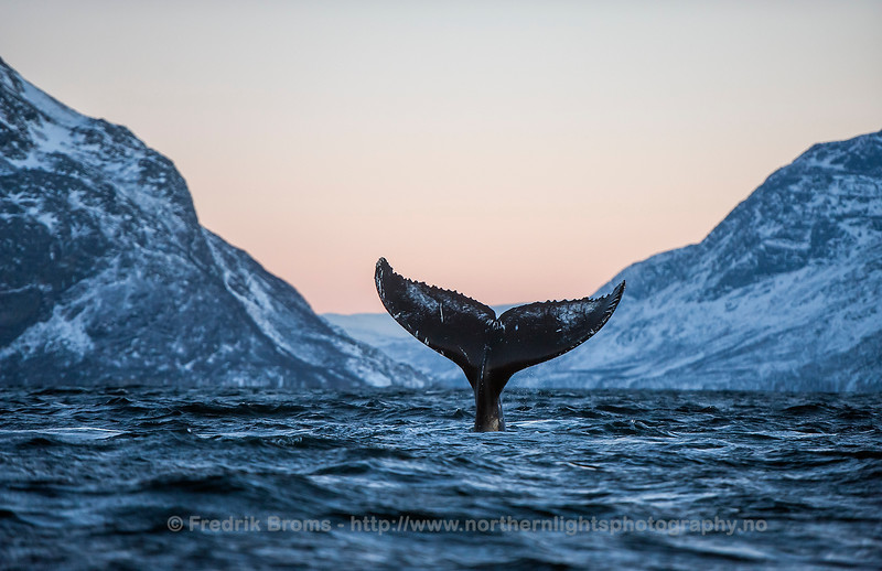 Humpback Fluke in Norwegian Fjord, Norway