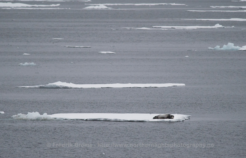 Bearded seal - Storkobbe - Erignathus barbatus