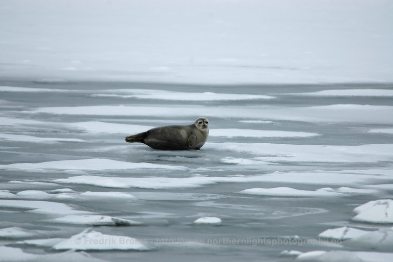 Ringed Seal, Norway
