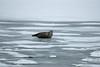 Ringed Seal, Norway