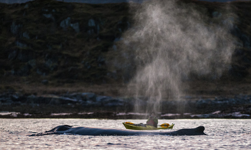 Humpback Whale and Kayak, Norway