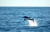 White-beaked Dolphin outside Senja, Norway