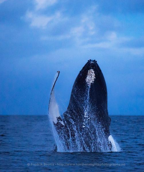 Humpback waving its pectoral fin, Norway